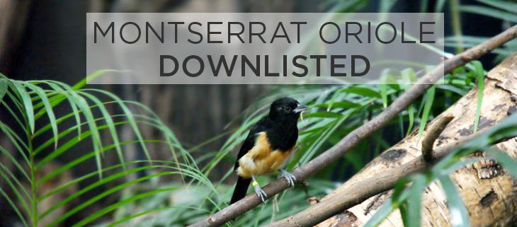 island-conservation-Montserrat-Oriole