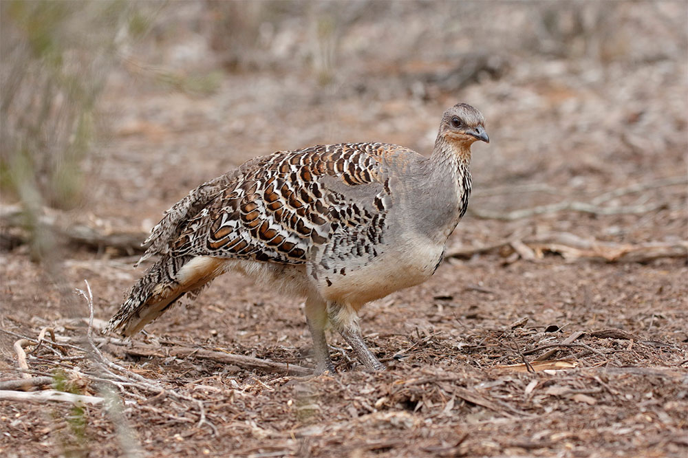 island conservation Lawan Reserve Malleefowl