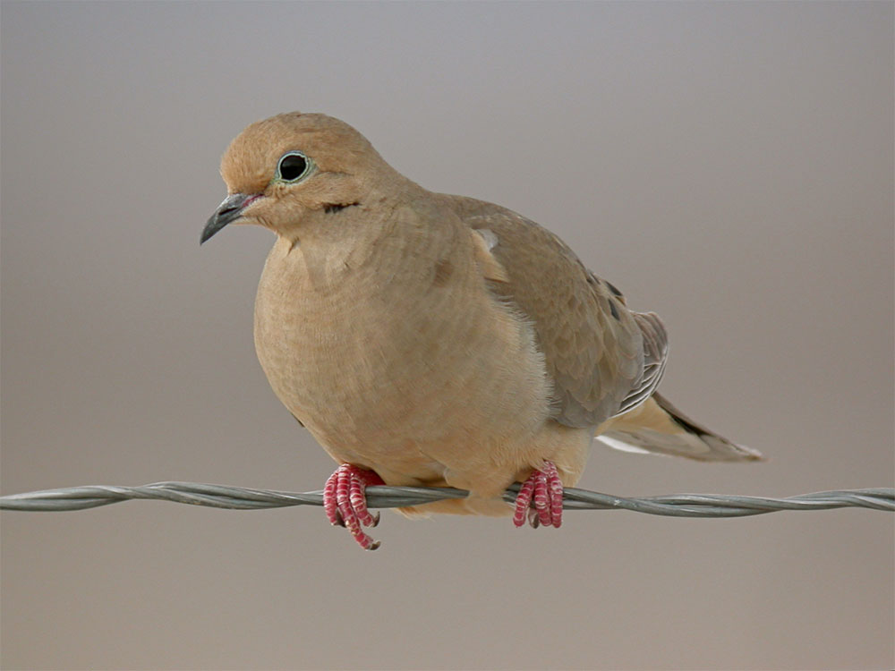 island conservation mourning dove
