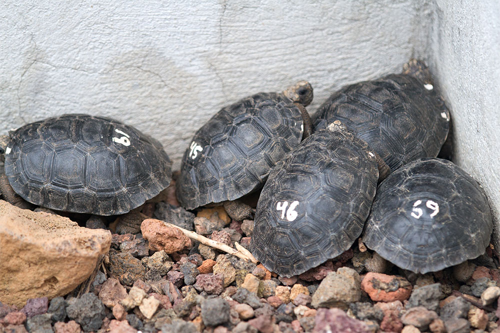 island-conservation-numbered-galapagos-tortoise-hatchlings Heath Packard
