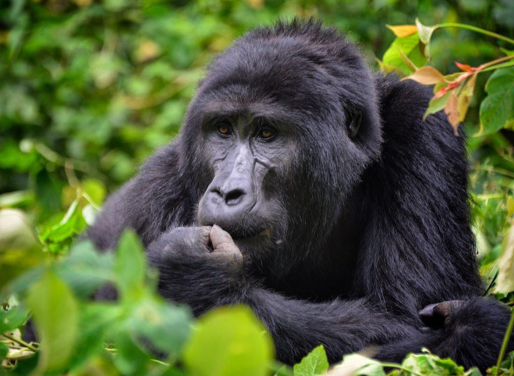 island conservation paula castano silverback gorilla
