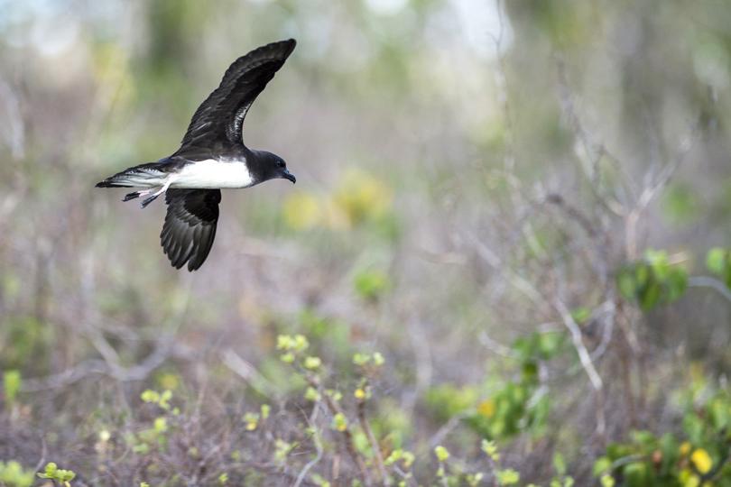 island conservation preventing extinctions phoenix petrel