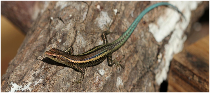 island conservation christmas island lizards blue tailed skink
