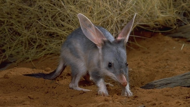 island conservation bilby