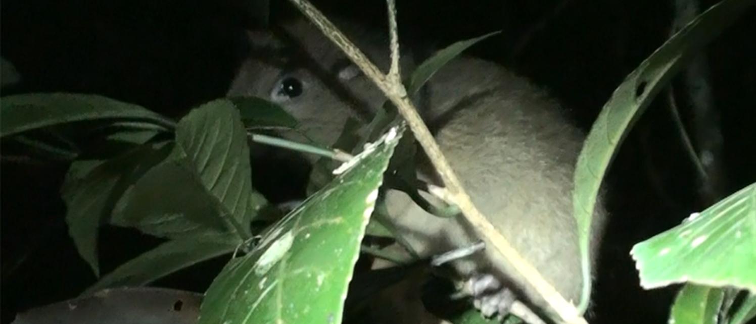island conservation dingat island cloud rat