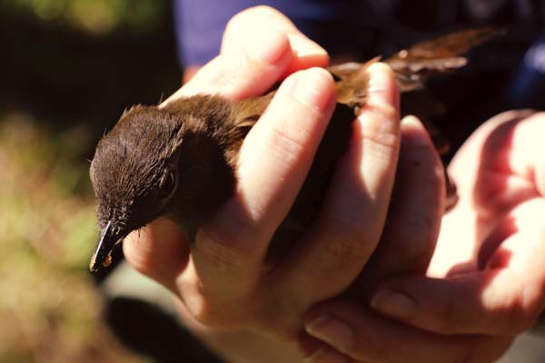 island conservation small kauai thrush