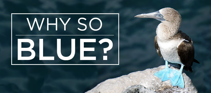 island conservation blue-footed booby