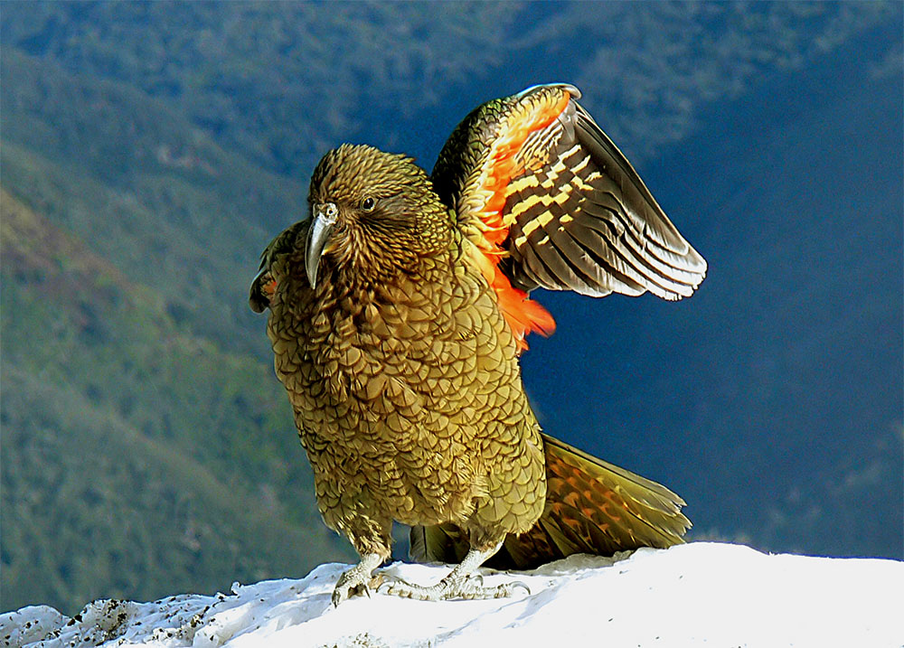 island conservation New Zealand Kea
