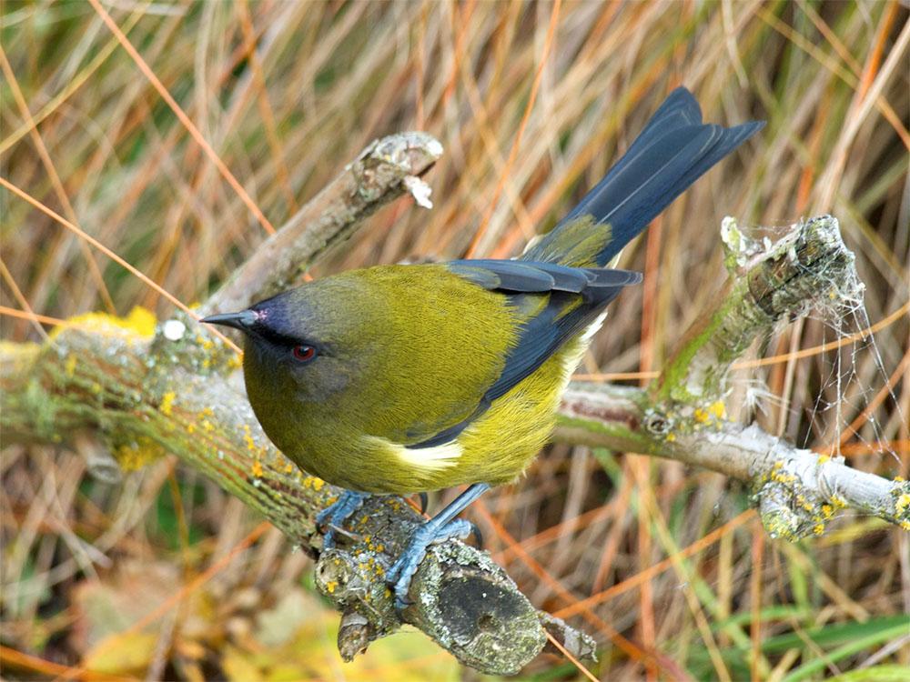 island conservation new zealand forest bellbird