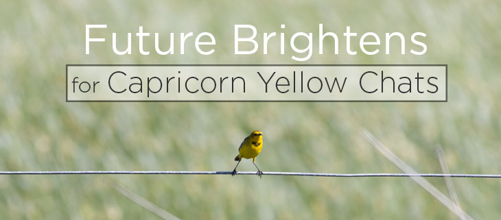 island conservation capricorn yellow chat