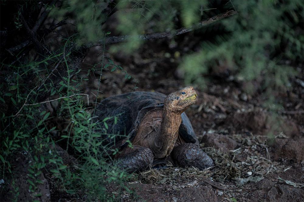 island conservation female Española Giant Tortoise
