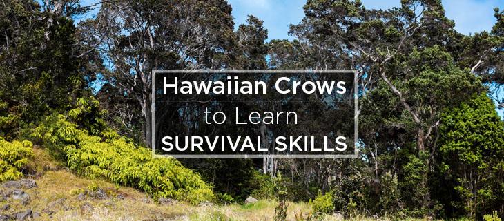 island conservation hawaiian crows