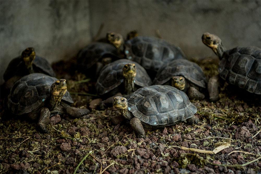 island conservation juvenile Española Giant Tortoise