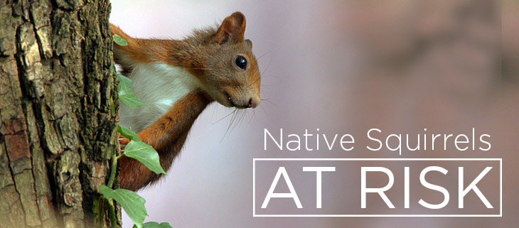 island conservation native red squirrel
