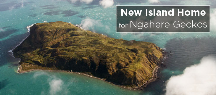 island conservation preventing extinctions ngahere gecko mana island