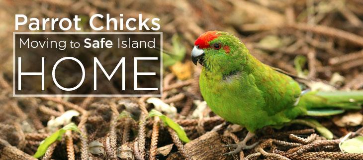 island conservation norfolk island parrot