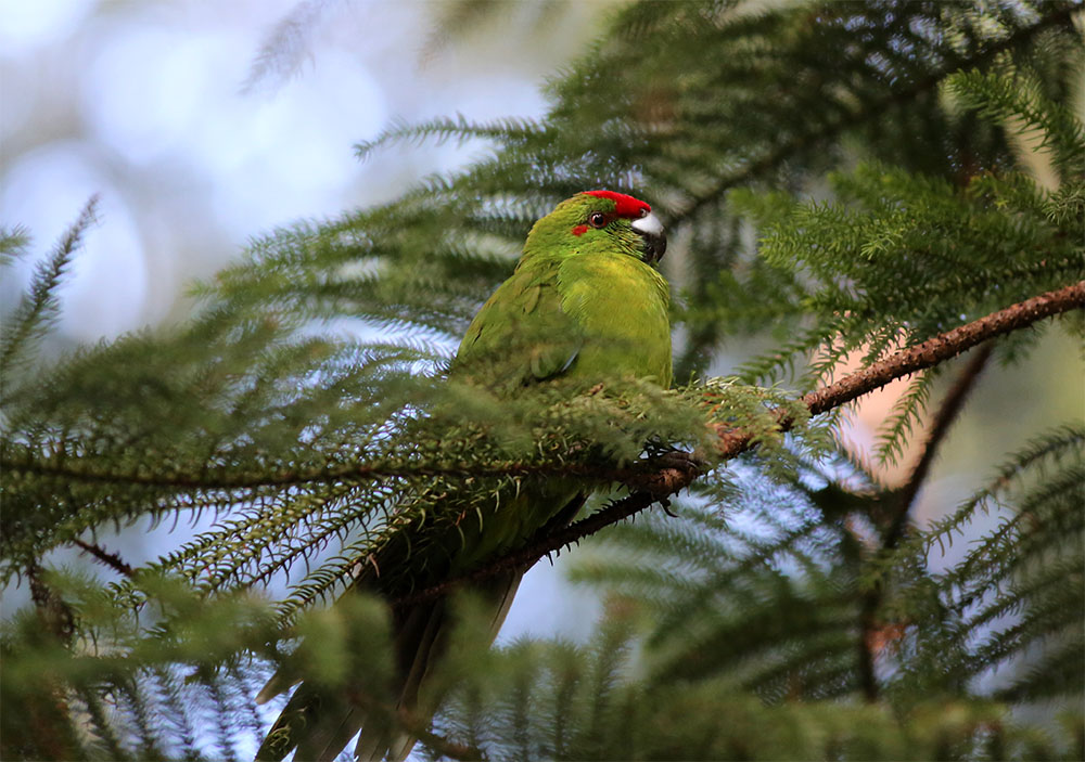 island conservation a new home for norfolk island green parrots