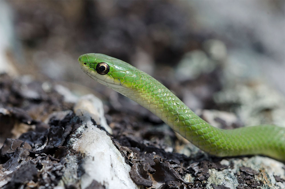 island conservation phone application smooth green snake