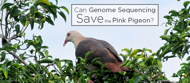 island conservation pink pigeon
