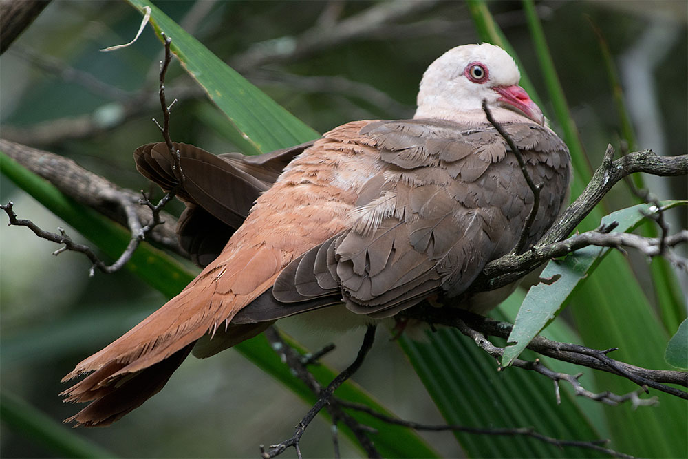 island conservation pink pigeon