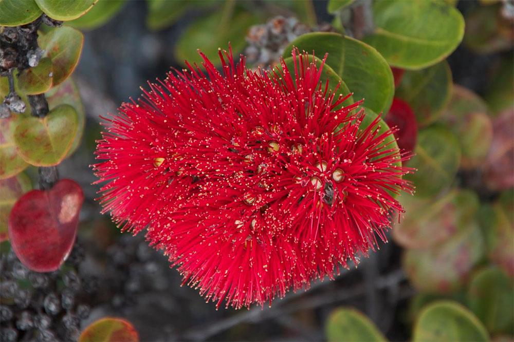 island conservation rapid ʻŌhiʻa death ʻŌhiʻa flowers