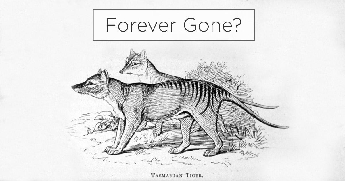 Island Conservation Potential Tasmanian Tiger Sightings Raise Eyebrows Island Conservation