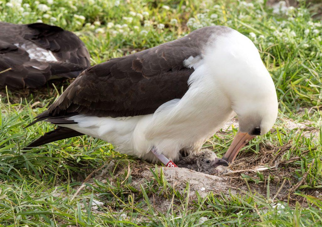 island conservation wisdom laysan albatross nest attentive mother