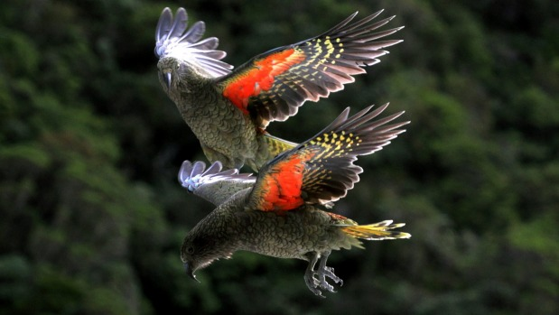 island conservation preventing extinction kea flying