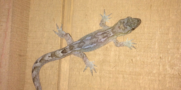 island conservation pacific gecko