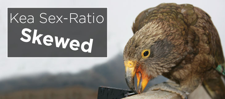 island conservation preventing extinction kea sex-ratio