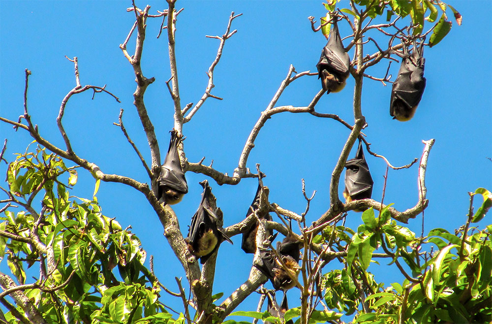 island conservation flying foxes in tree