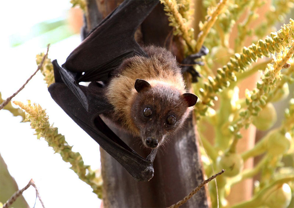island conservation flying fox