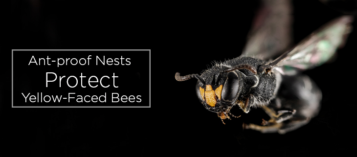 island conservation preventing extinctions yellow-faced bee