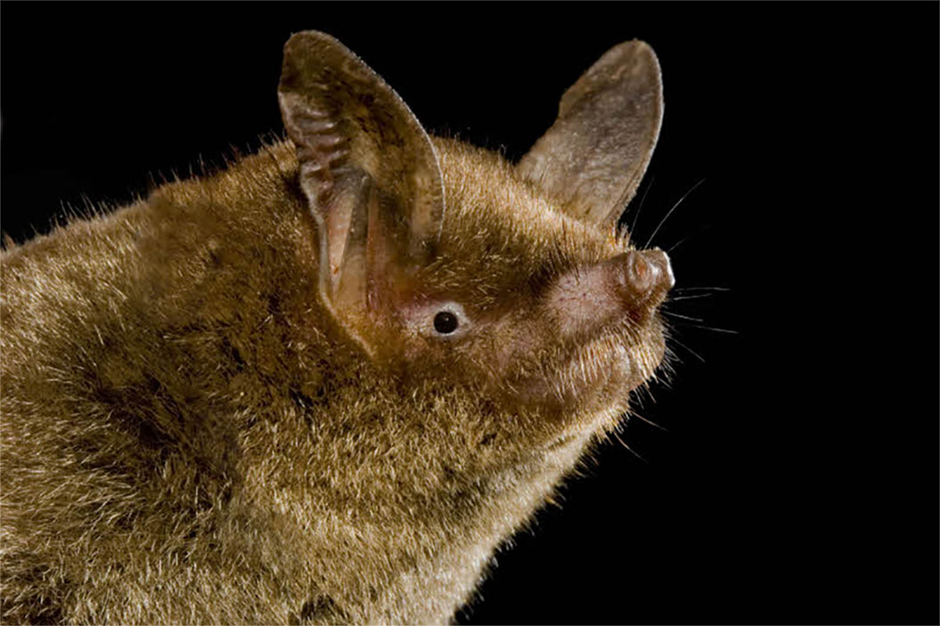 Island-conservation-preventing-extinctions-new-zealand-lesser-short-tailed-bat