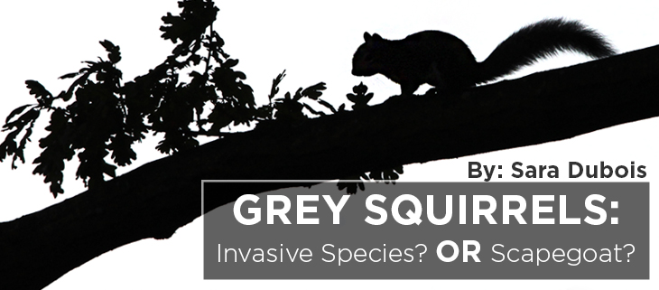 island-conservation-grey-squirrels-sara-dubois-feat
