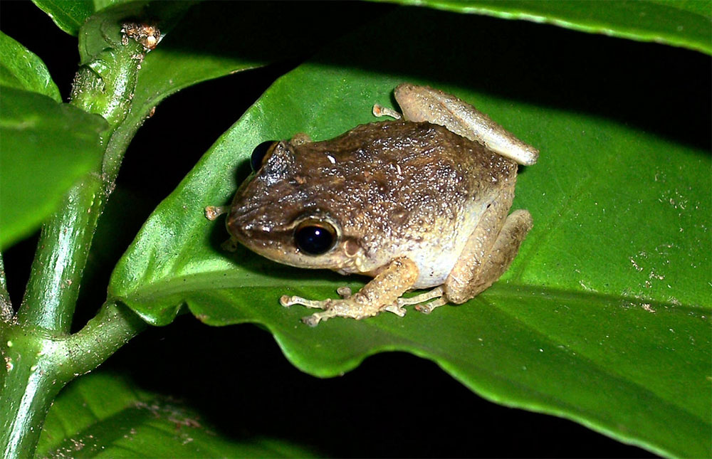 island-conservation-large-coqui-frog