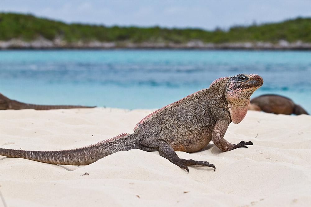 island-conservation-iguana