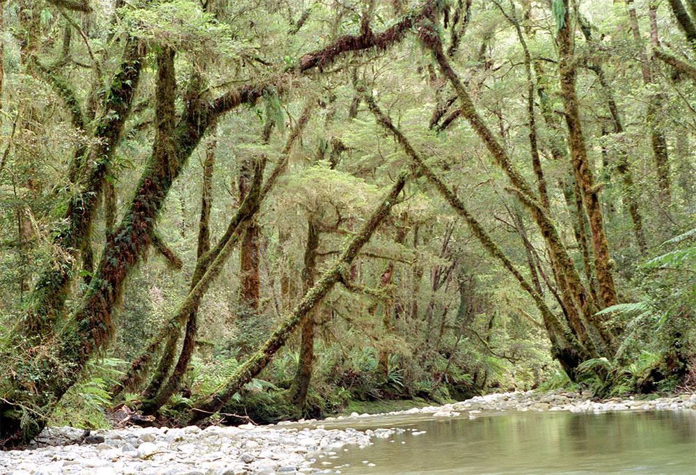 island conservation South Island Kokako forest