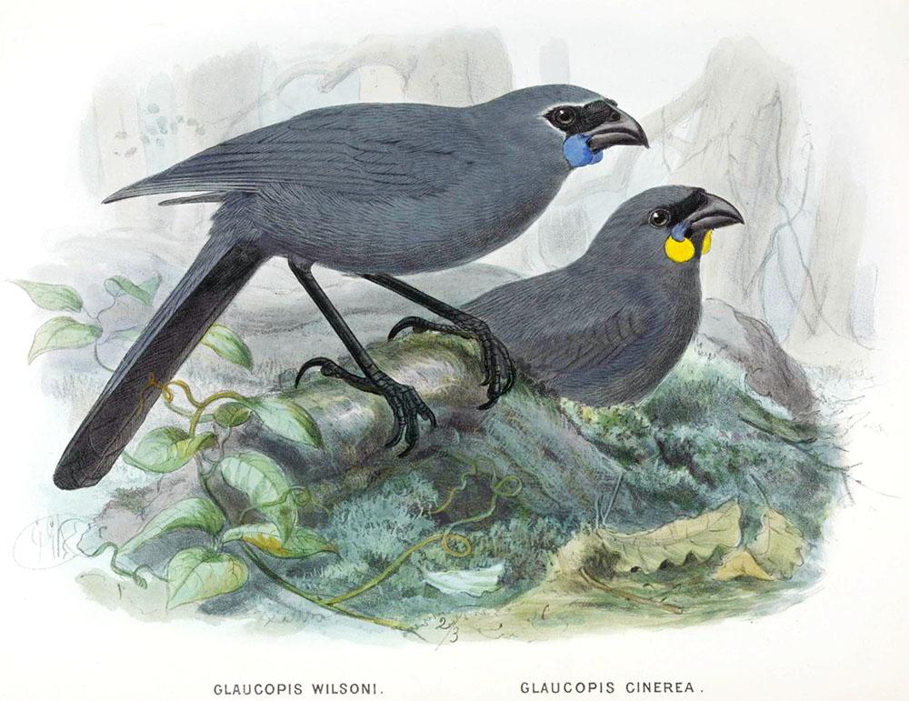 island conservation South Island Kokako illustration