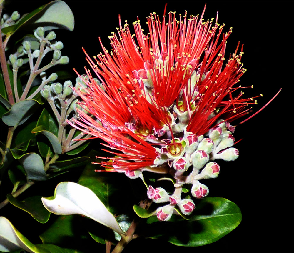 island-conservation-preventing-extinctions-african-tulip-tree-threaten-ohia-trees