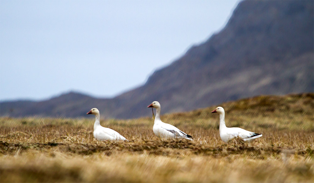 island-conservation-climate-change-snow-geese