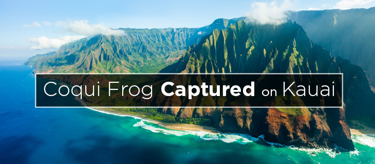 island-conservation-preventing-extinctions-coqui-frog-hawaii-feat