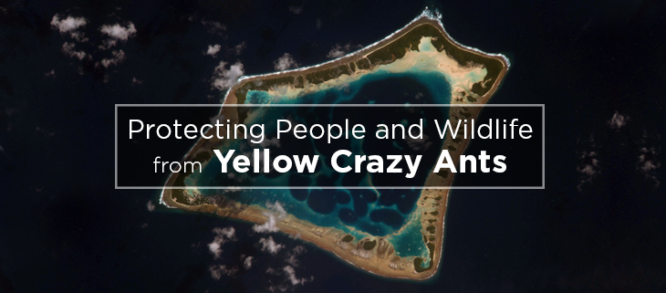 island-conservation-yellow-crazy-ants-christmas island-feat
