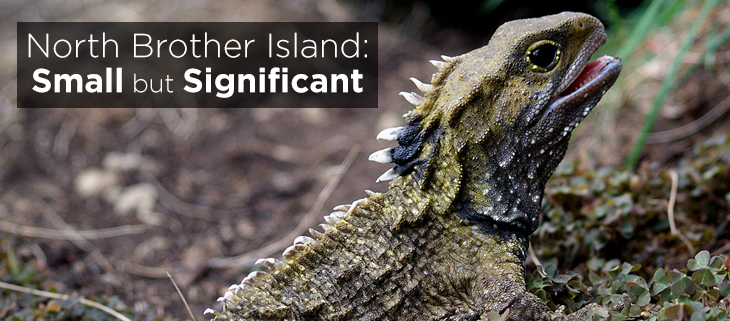 Island-Conservation-Preventing-Extinctions-North-Brother-Island-Tuatara-feat