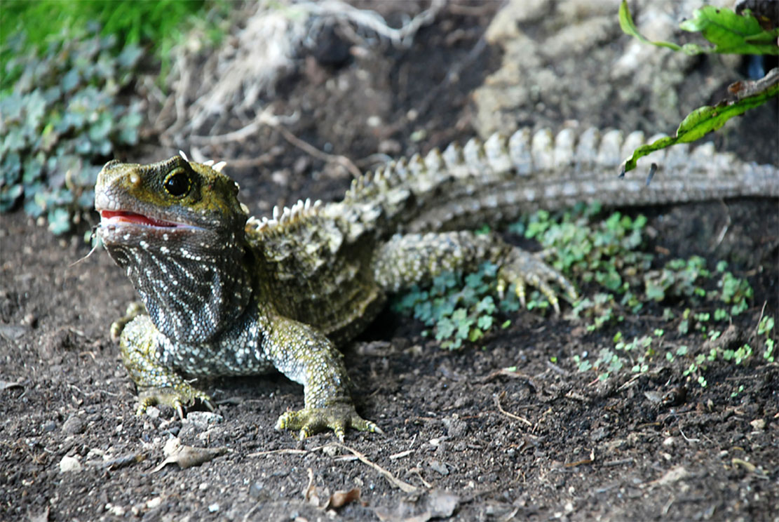Island-Conservation-Preventing-Extinctions-North-Brother-Island-Tuatara