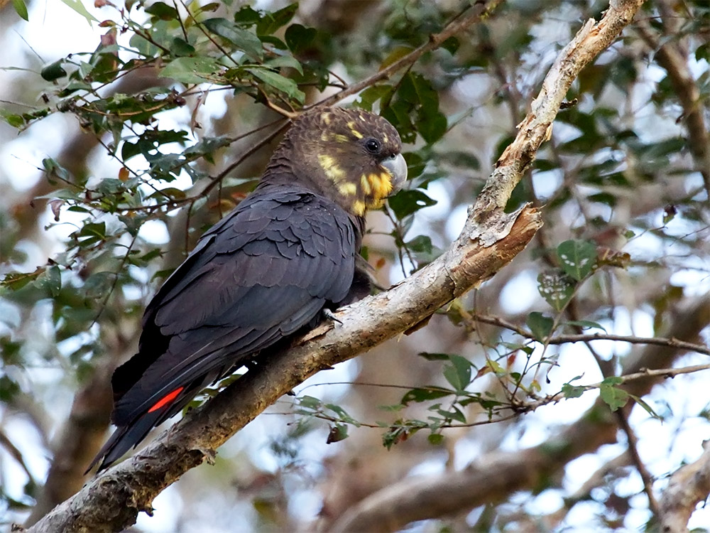 island-conservation-european-red-fox-glossy-black-cockatoo