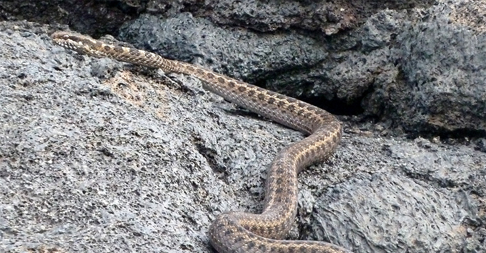 island-conservation-preventing-extinctions-galapagos-snakes