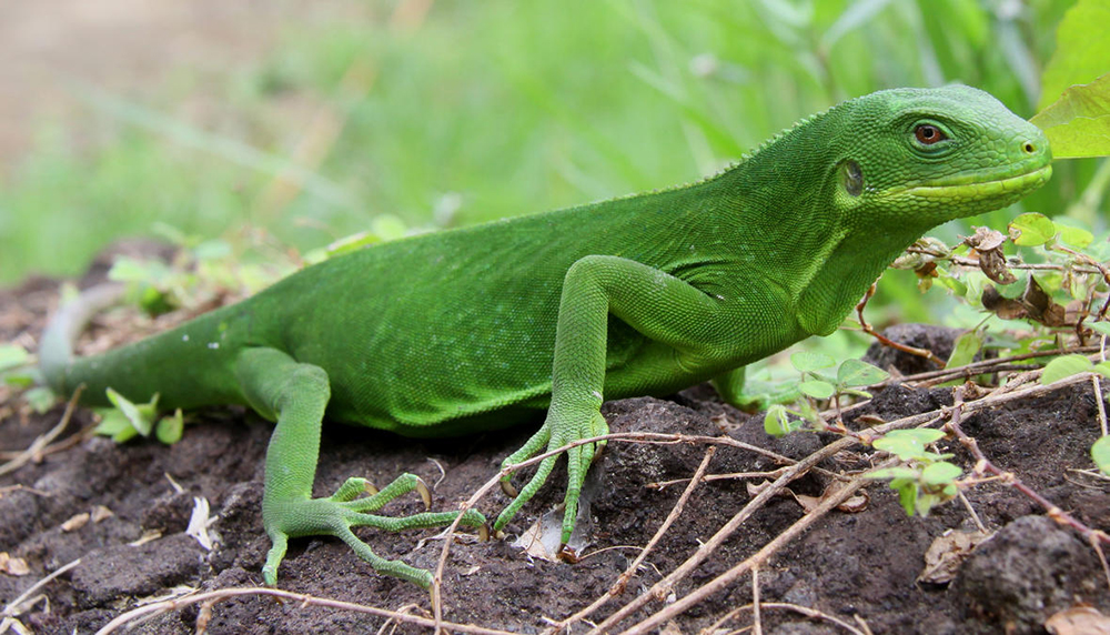 island-conservation-preventing-extinctions-new-iguana-species