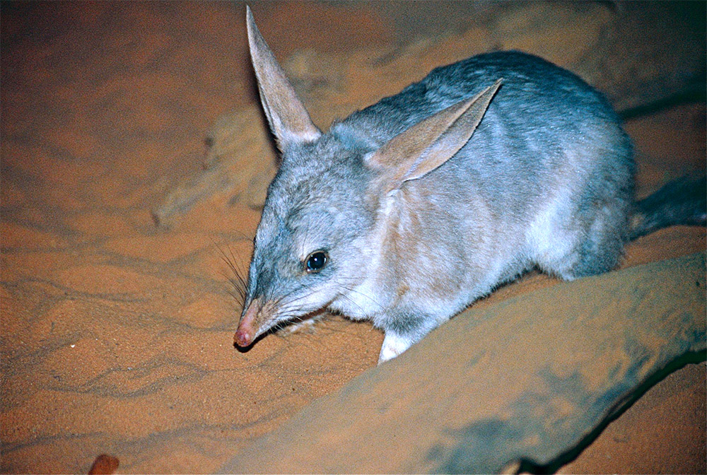 island-conservation-island-sanctuary-protect-greater-bilby