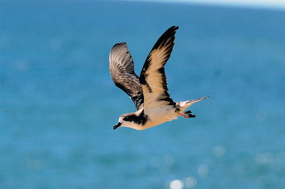 island-conservation-sustainable=hawaii-initiative-hawaiian-petrel